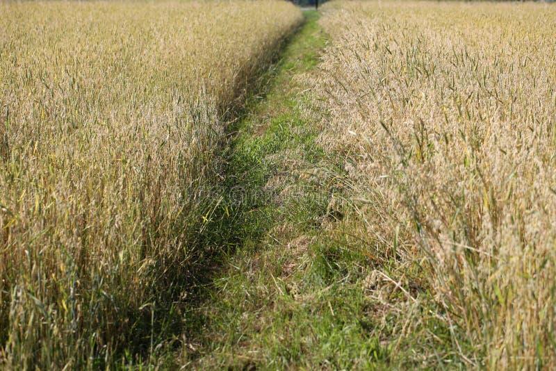 在农田的麦子 免版税库存图片