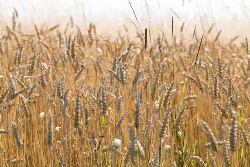 在农田的麦子 免版税图库摄影
