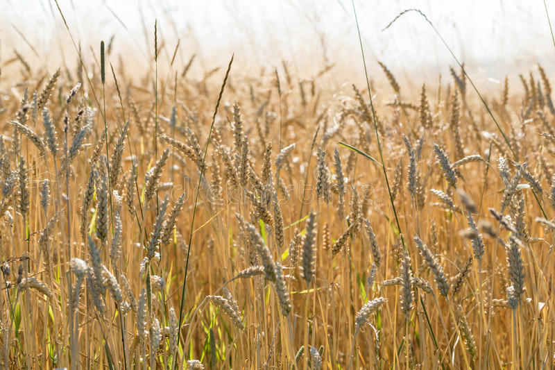 在农田的麦子 库存图片