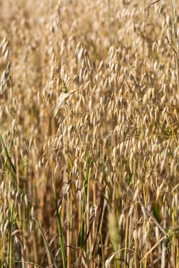 在农田的麦子 图库摄影