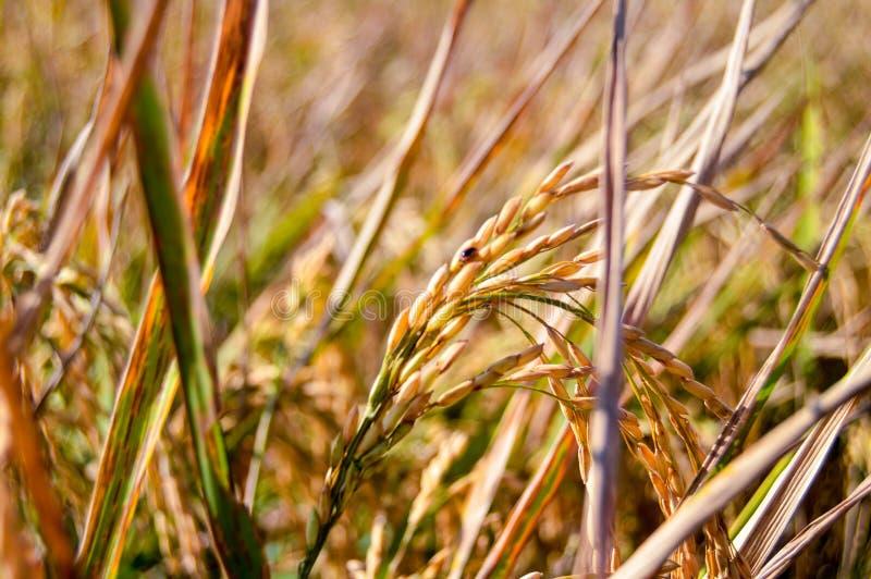 在农田的黄色稻种子 库存图片