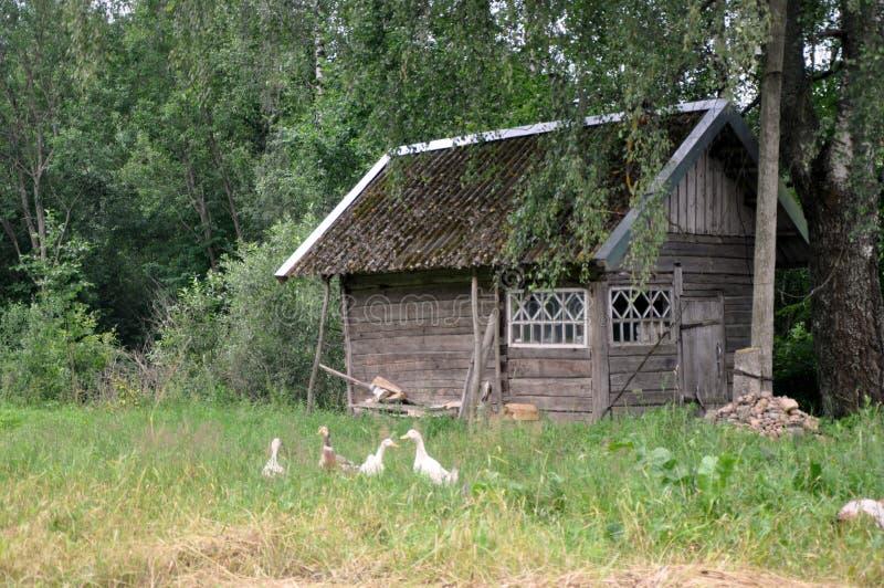 在农舍附近的鹅 库存图片