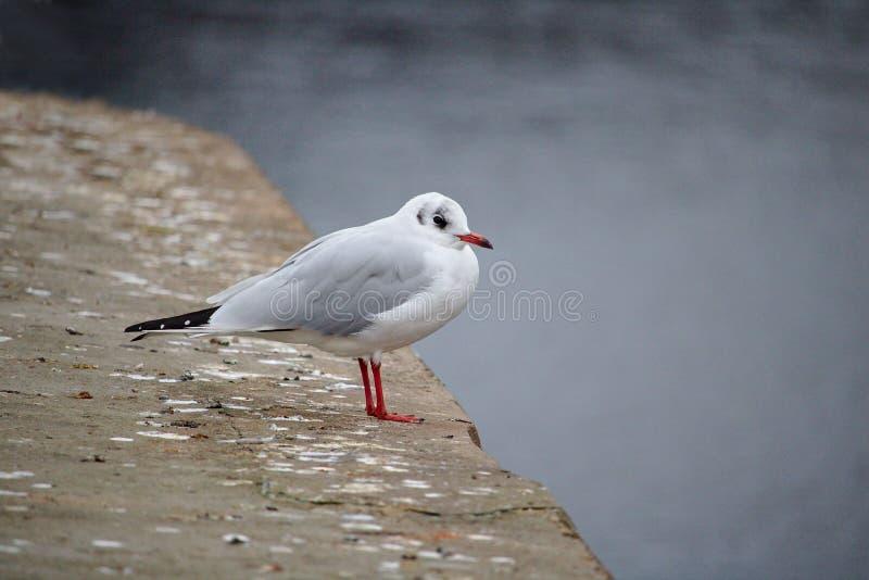在冬天全身羽毛的黑带头的鸥栖息在码头边缘 免版税库存照片