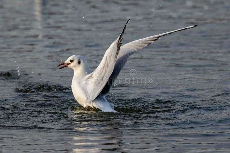 在冬天全身羽毛着陆的黑朝向的鸥在水 免版税库存照片