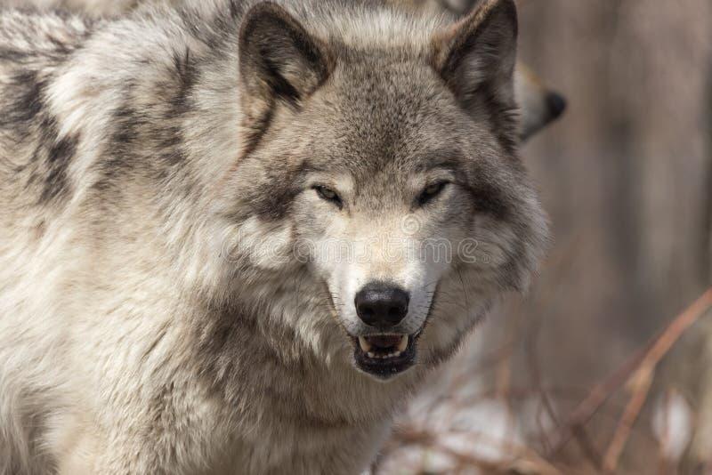 在冬天场面的一头孤立北美灰狼 免版税库存图片