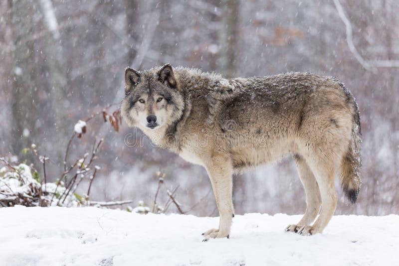 在冬天场面的孤立北美灰狼 库存图片