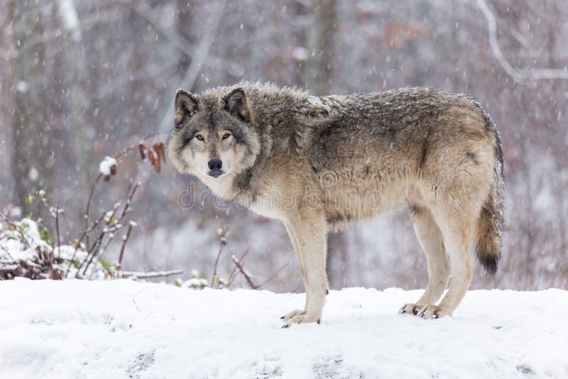 在冬天场面的孤立北美灰狼 图库摄影