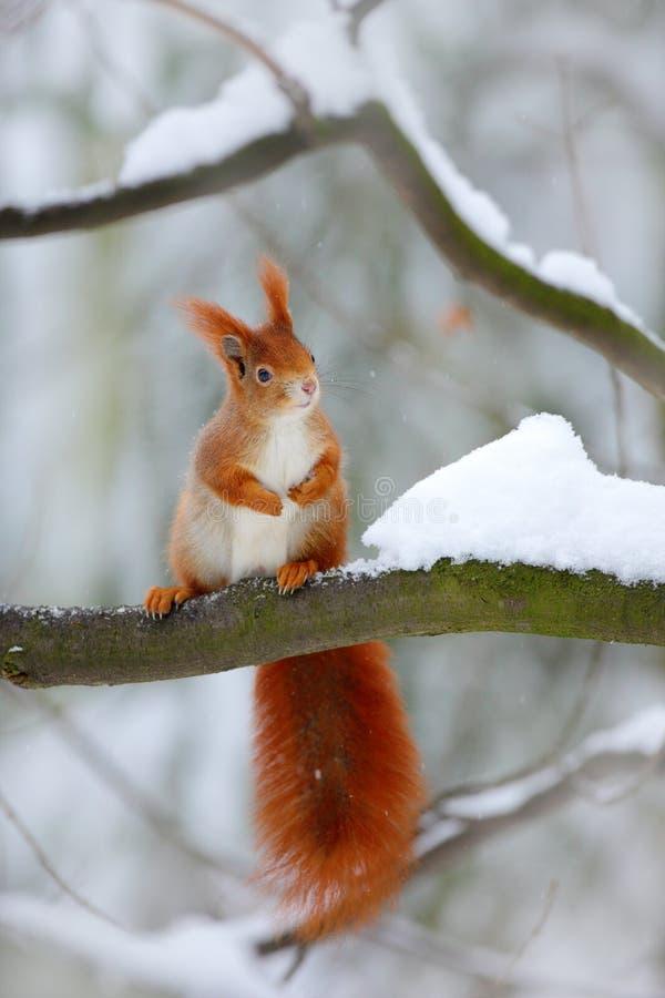 在冬天场面的逗人喜爱的红松鼠与雪在背景中弄脏了森林 免版税库存图片