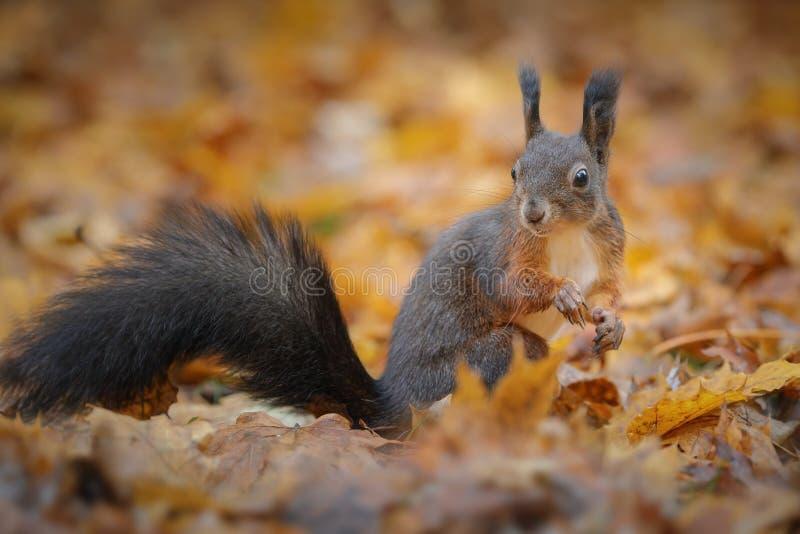 在冬天外套的红松鼠 免版税库存照片