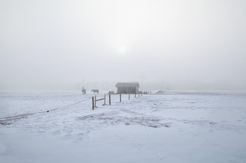 在冬天多雪的牧场地的马在有薄雾的早晨 免版税库存照片