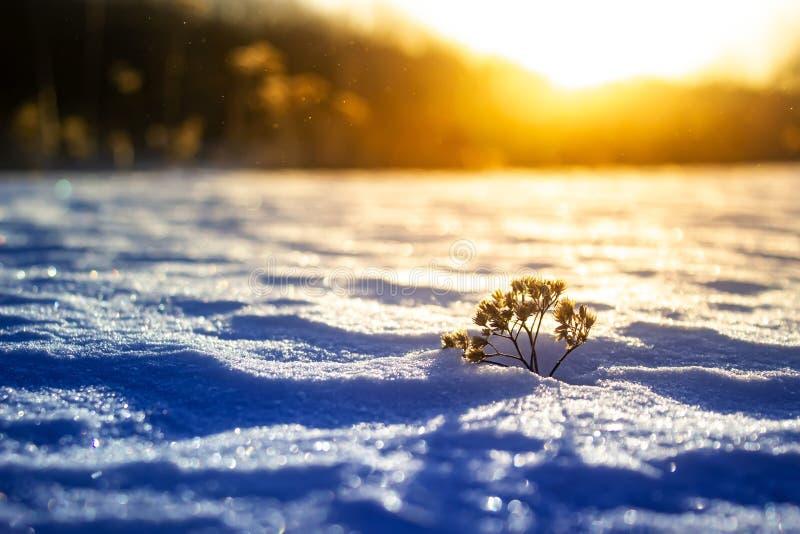 在冬天日落的冷淡的草 背景蓝色雪花白色冬天 库存图片