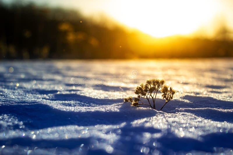 在冬天日落的冷淡的草 背景蓝色雪花白色冬天 图库摄影