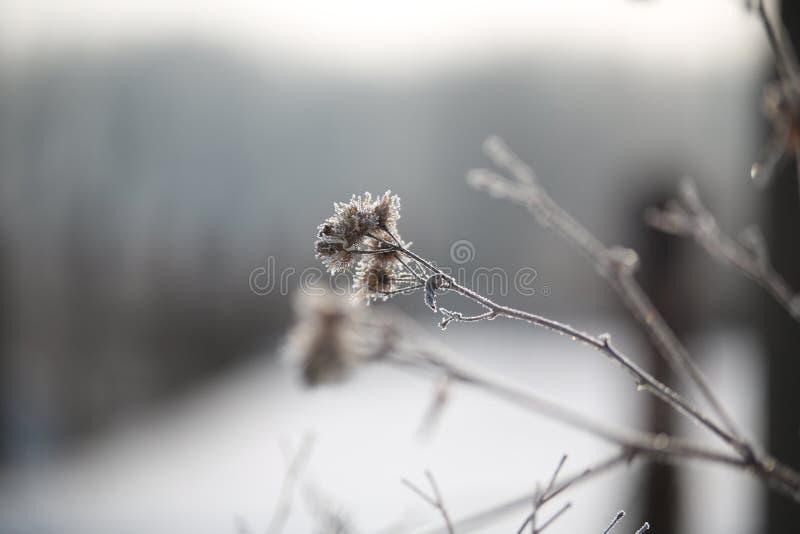 在冬天早晨霜的植物名 免版税图库摄影
