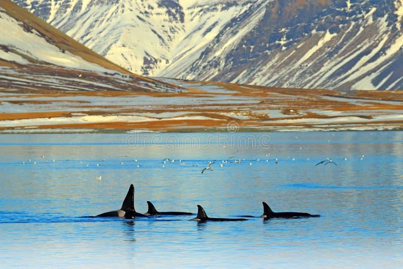 在冬天期间,小组在冰岛山海岸附近的虎鲸 Orcinus海怪在水栖所,从自然的野生生物场面 库存照片