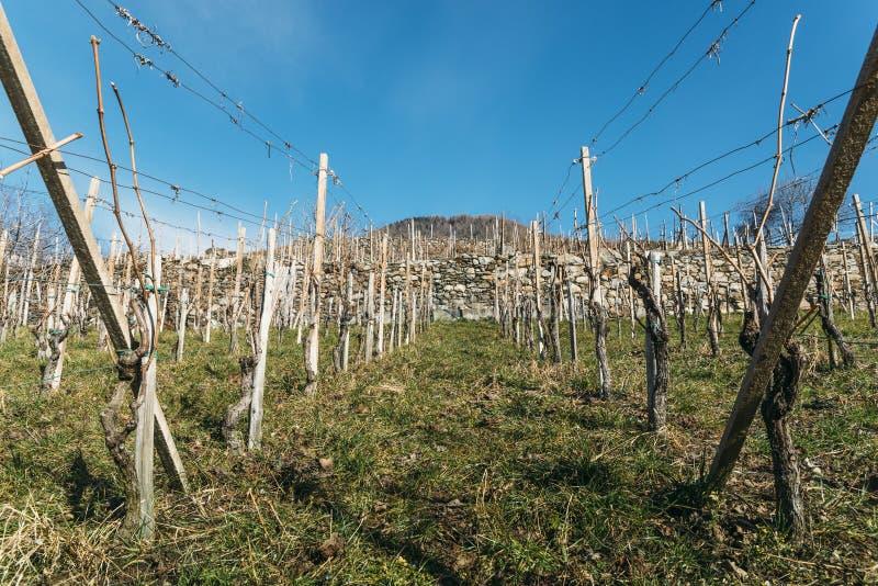 在冬天期间,空的葡萄园在瓦尔泰利纳伦巴第,意大利的葡萄酒增长区域 免版税库存图片
