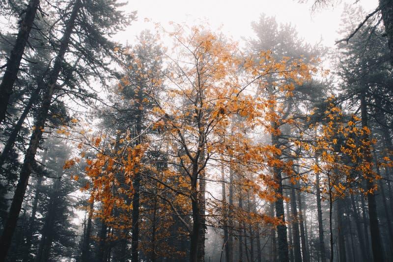在冬天森林中间的秋天树 免版税库存图片