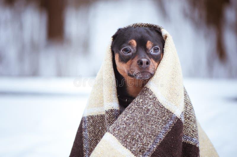在冬天森林禅宗,凝思, yo的格子花呢披肩包裹的狗 库存图片