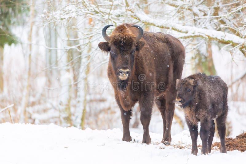 在冬天森林附近的大棕色北美野牛欧洲野牛家庭有雪的 欧洲野牛北美野牛,北美野牛Bonasus牧群  自然栖所 Sele 免版税库存照片