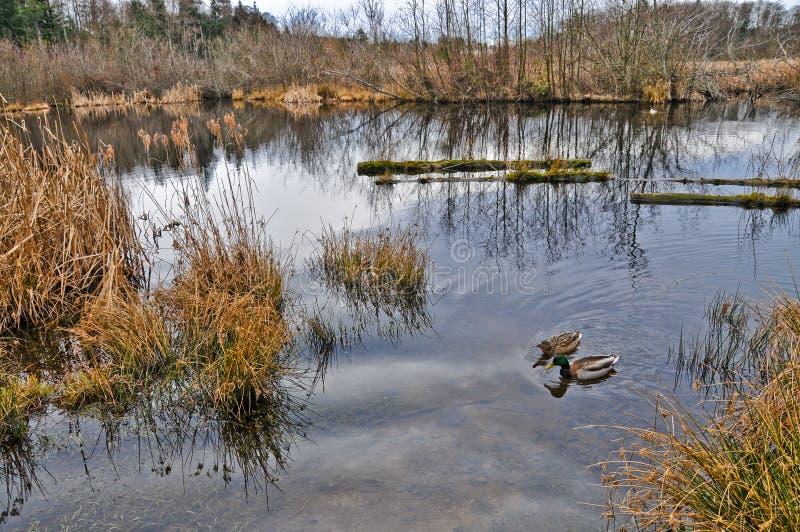 在冬天沼泽地野生生物保护区的鸭子 免版税库存照片
