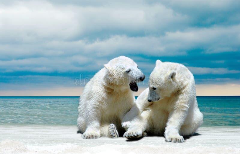 在冬天海滩的北极熊崽 免版税库存图片
