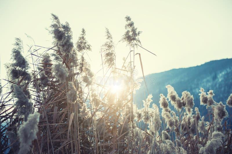 在冬天湖的干燥芦苇草日落的 库存图片