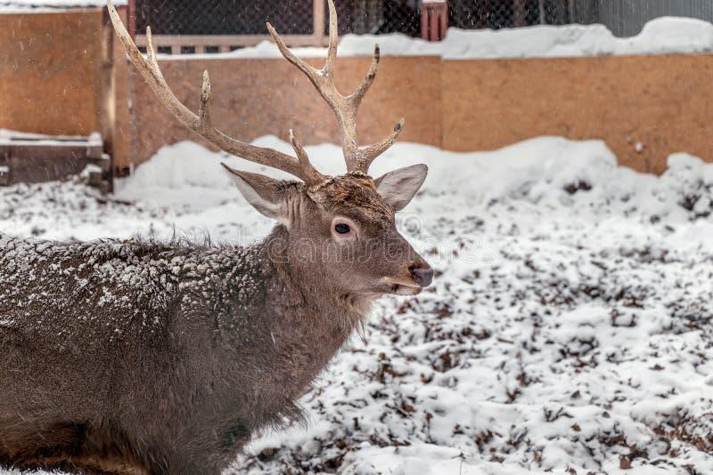 在冬天特写镜头的鹿在鸟舍 与大垫铁,棕色温暖的羊毛的哺乳动物 庄严野兽 免版税库存照片