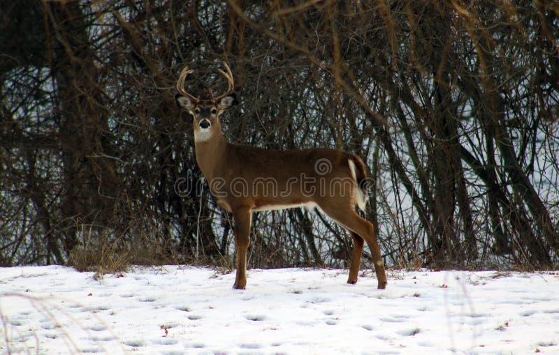 在冬天男性白尾期间的幼小公鹿顽抗 库存照片