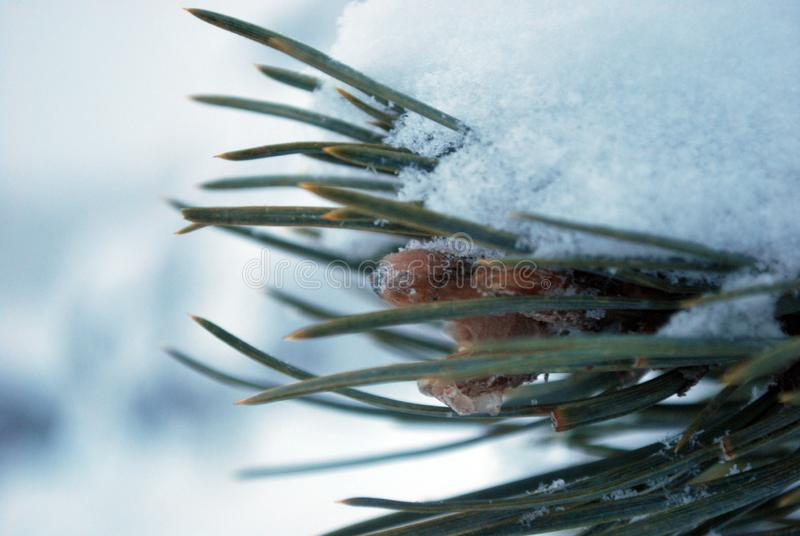 在冬天雪下的云杉的分支 免版税库存图片