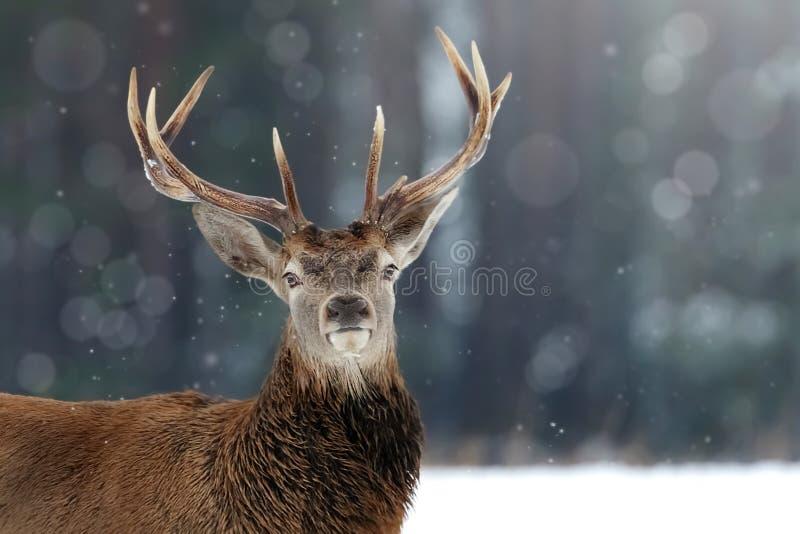在冬天雪森林冬天圣诞节图象的高尚的鹿男性 免版税库存照片