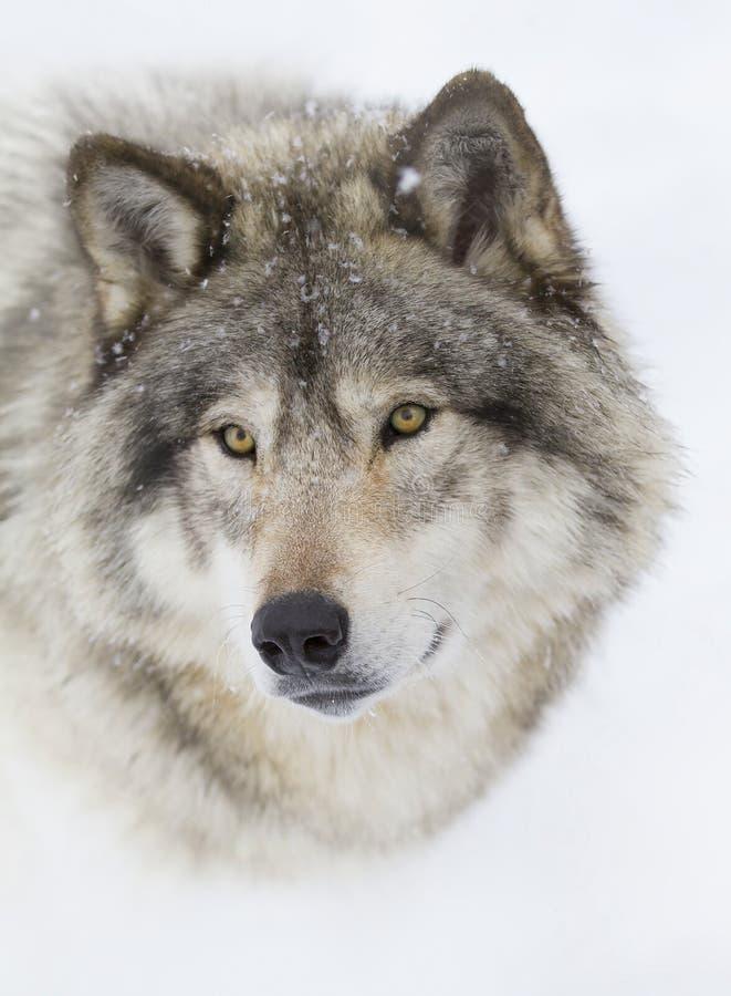 在冬天雪的一个北美灰狼天狼犬座画象特写镜头在加拿大 免版税库存图片
