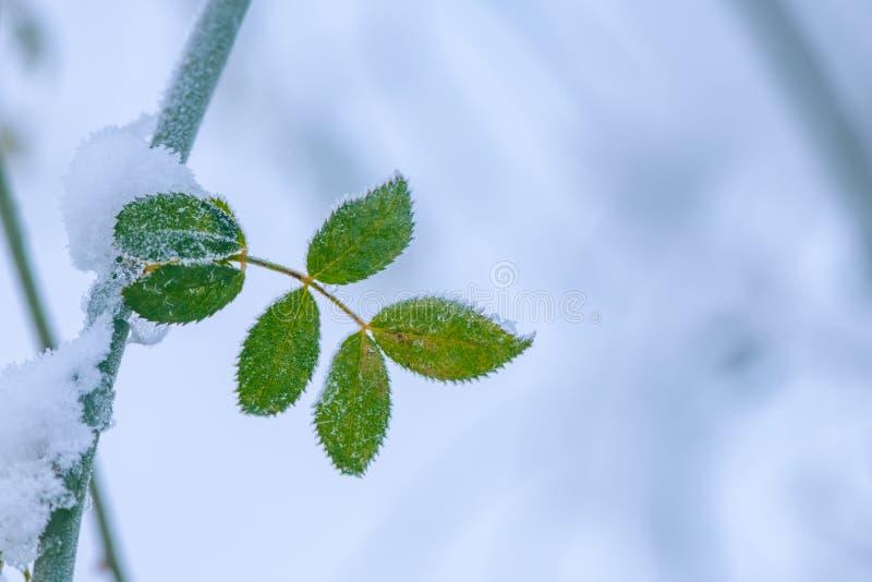 在冬天雪的冻玫瑰果叶子 库存图片