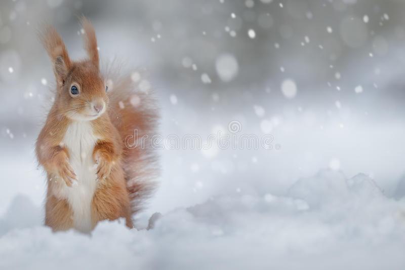 在冬天雪的可爱的红松鼠 库存照片