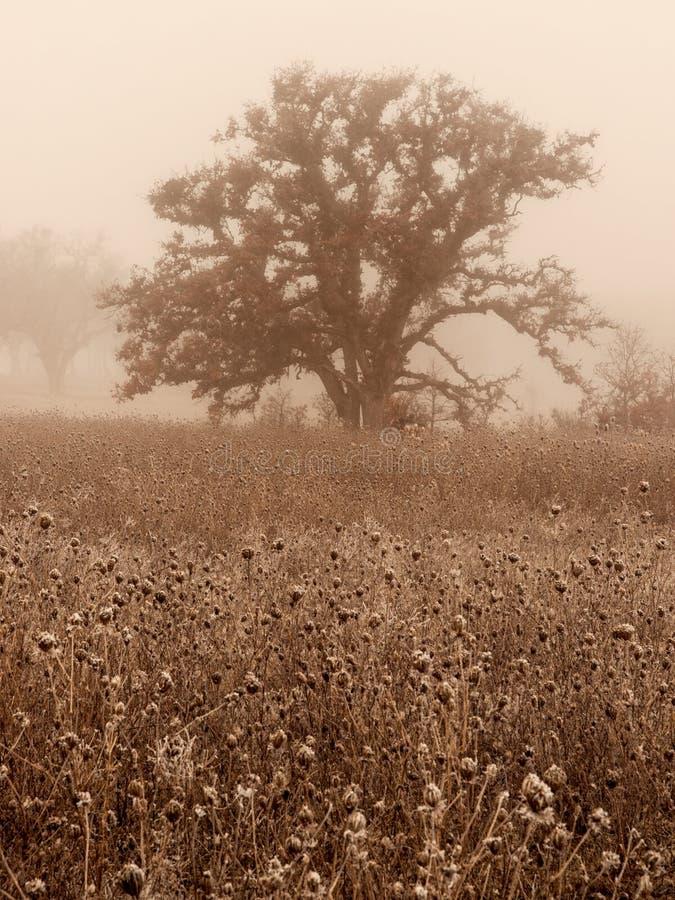 在冬天雾的橡树 免版税库存图片