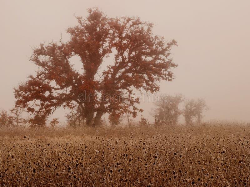 在冬天雾的橡树 免版税图库摄影