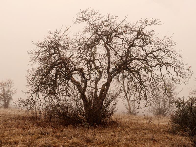 在冬天雾的橡树 免版税库存照片