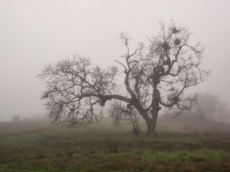 在冬天雾的贫瘠橡树 库存照片