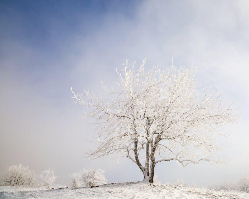 在冬天霜的美丽的树 免版税图库摄影