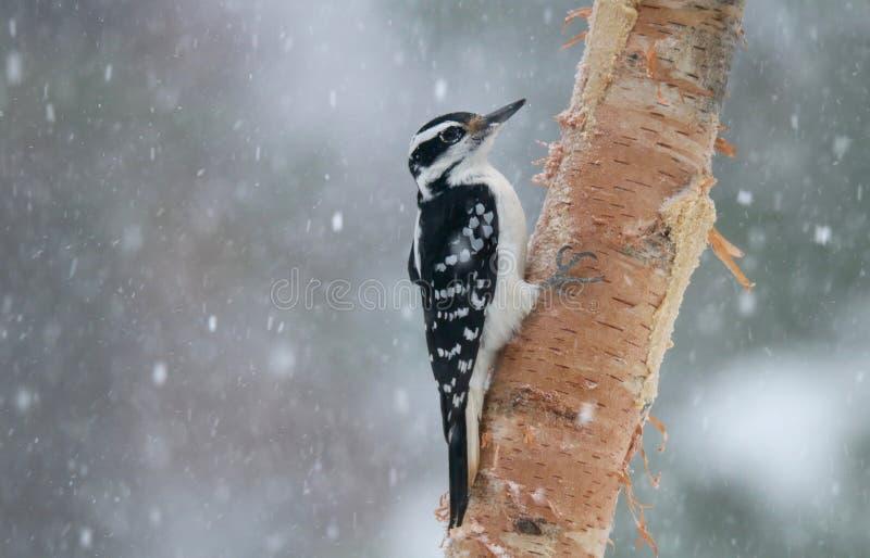 在冬天风暴的长毛的啄木鸟吃吠声黄油的 免版税库存照片