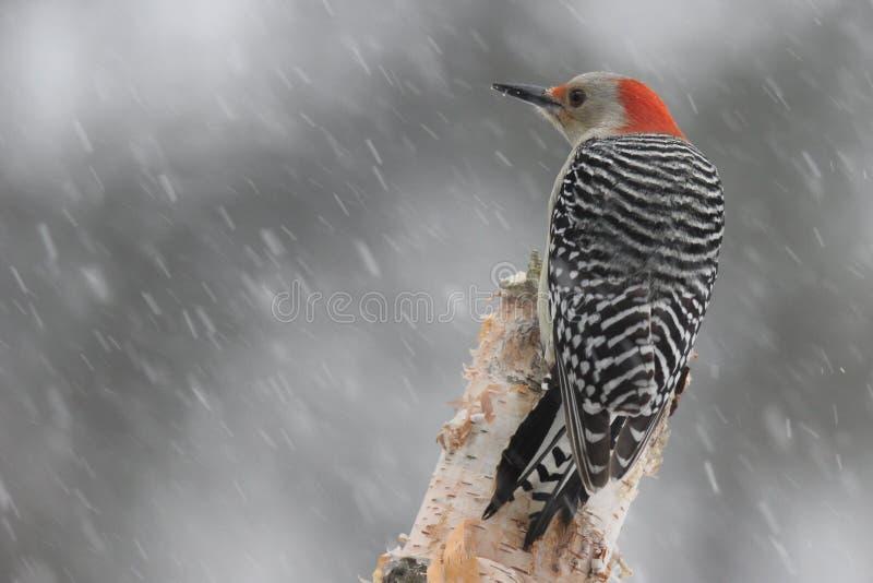 在冬天风暴的啄木鸟 免版税图库摄影