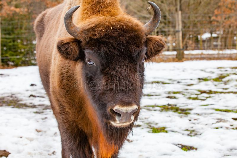 在冬时的欧洲北美野牛猜错bonasus 库存照片