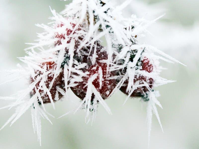 在冬景花园野玫瑰果的树冰 免版税库存图片