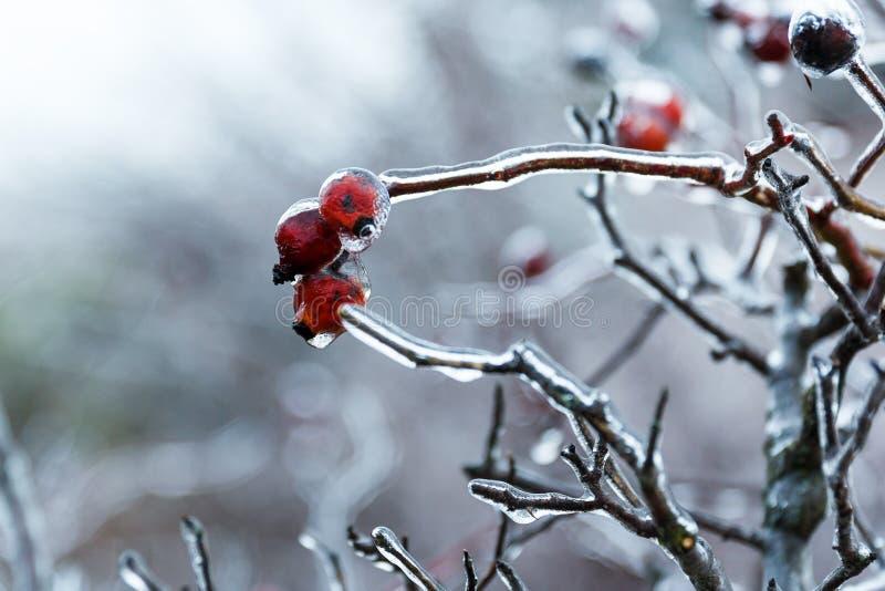 在冰下的野玫瑰果 库存照片