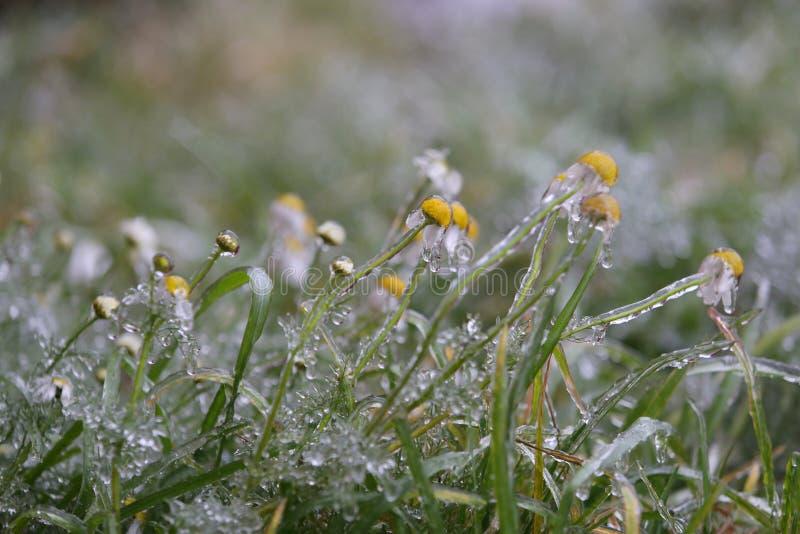 在冰冷的釉的春黄菊在用冰盖的沼地的冷的雨以后 特写镜头,迷离背景 库存图片