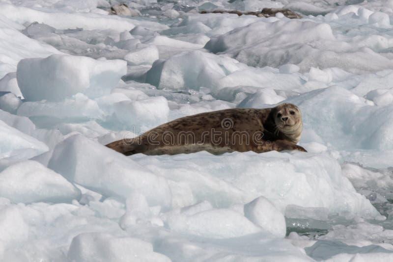 在冰山的封印从锯工冰川在特雷西胳膊海湾 库存照片