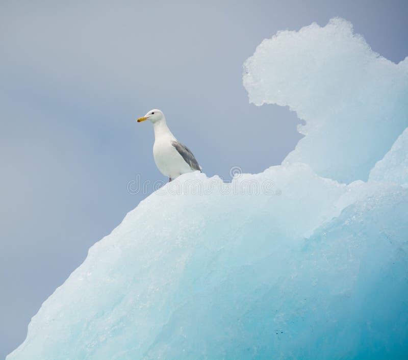 在冰山的绿灰色鸥,哥伦比亚冰川,阿拉斯加 免版税图库摄影