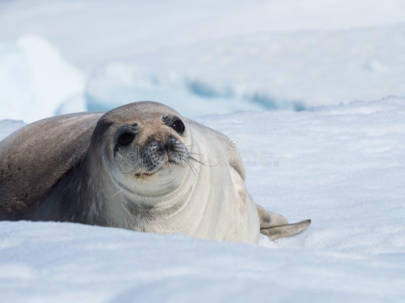 在冰山的Weddell封印 图库摄影