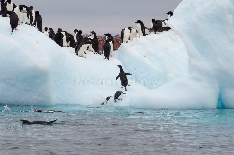 在冰山编组的成人阿黛尔企鹅 图库摄影