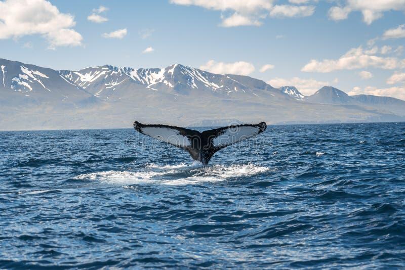 在冰岛海岸的鲸鱼潜水在胡萨维克附近 免版税库存照片