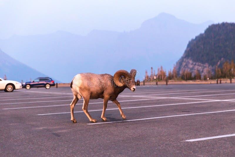 在冰川国家公园的大大角野绵羊 库存图片