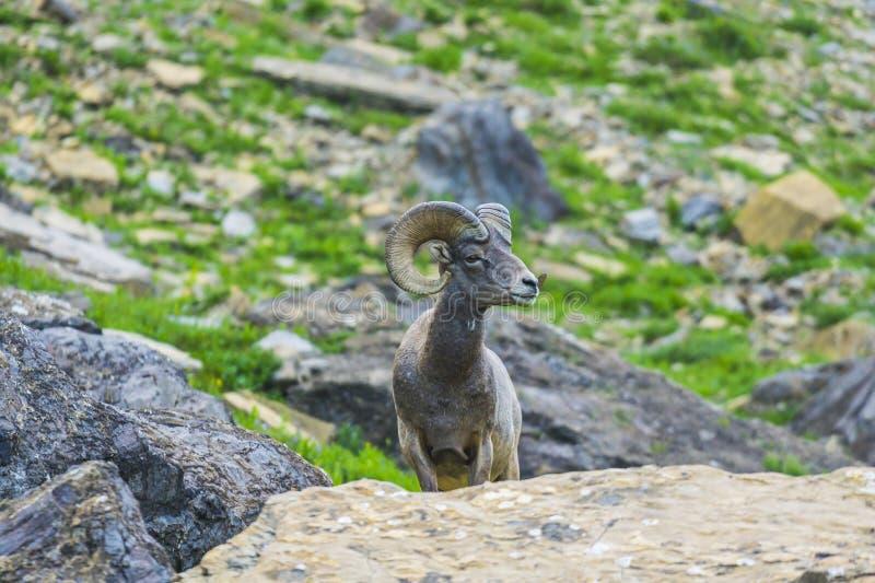 在冰川国家公园,蒙大拿,美国的大垫铁绵羊 图库摄影